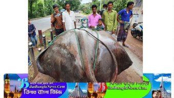 পদ্মায় ধরা পড়ল ১০ মণের 'শাপলা পাতা' মাছ